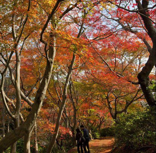 800本の大木のモミジが色づく紅葉「白野江植物公園」とマリーナテラスKAITO昼食イメージ